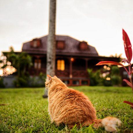 jardin Malanga Guadeloupe chat roux (11)